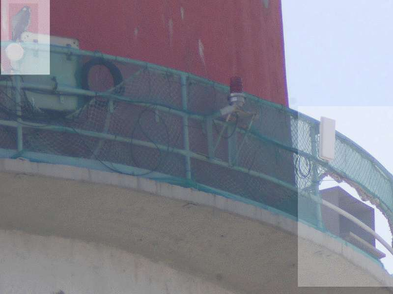 Sokoli samice na ochozu komína v Elektrárně Počerady