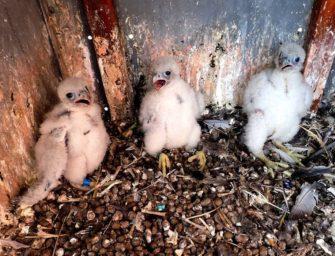 Na komínu elektrárny se vylíhla tři sokolí mláďata