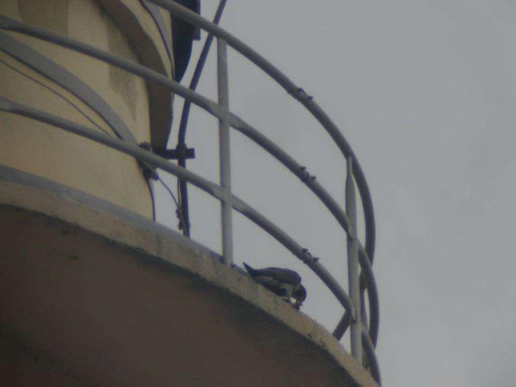 Sokoli hnízdí na elektrárně Tisová