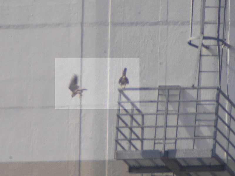 Sokoli páření sokolů v Elektrárně Ledvice