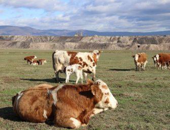 Stádo krav na výsypce se rozrůstá
