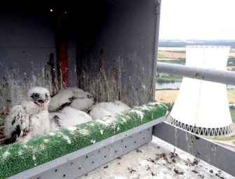 Čtrnáct sokolích mláďat v elektrárnách