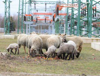 V kladenské teplárně úřadují ovce již desítky let